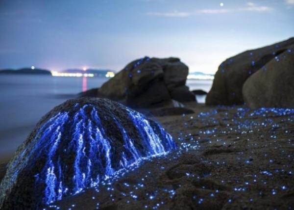 「海螢」閃耀黑夜 有如點點藍寶石