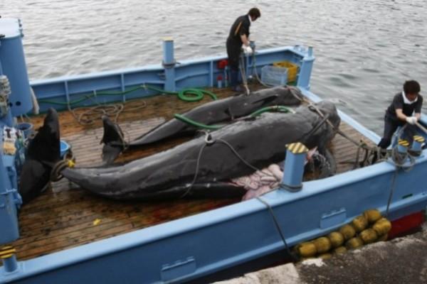 日本挪威反對 大西洋未能設鯨魚保護區